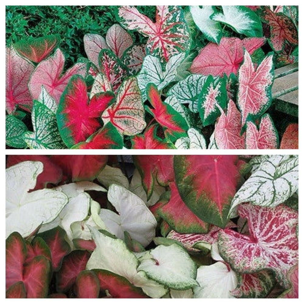 1 Caladium Bulb Mix Color Bulb Shady Plant Soil Pond