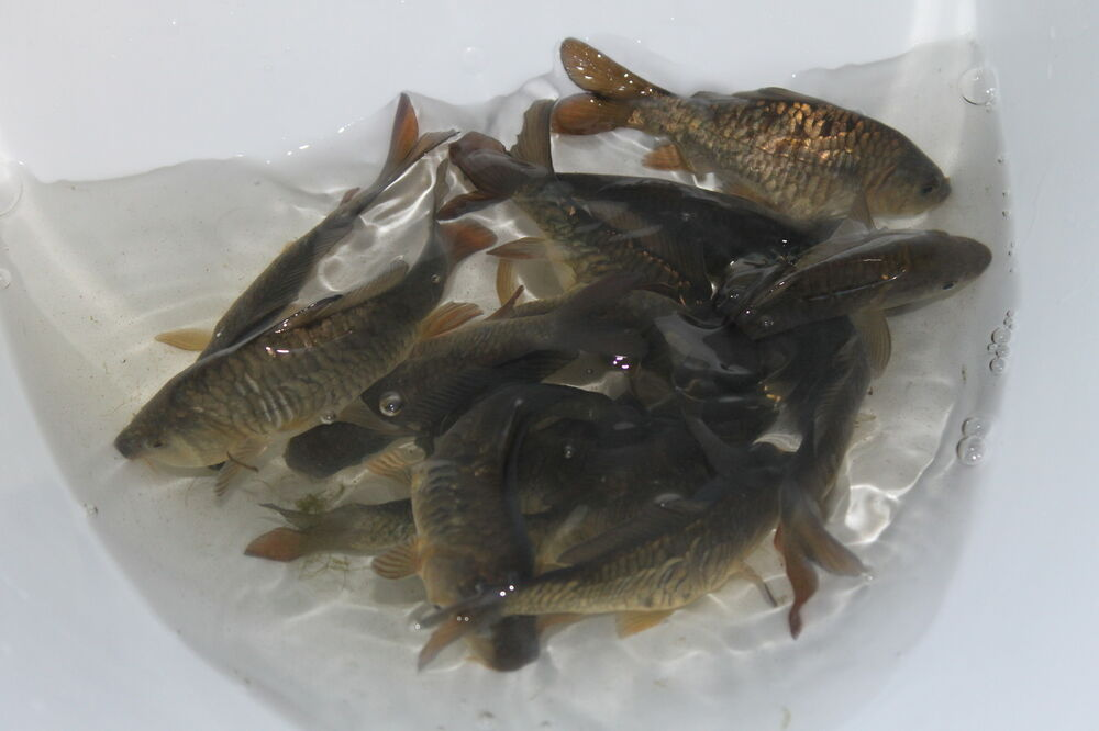 Small mirror carp 5cm free delivery koi pond mf for Pool koi aquatics ltd