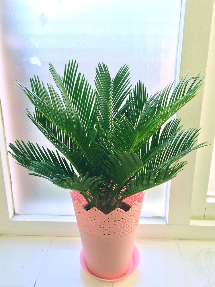 1 Indoor House Plant in Floral Matt Plastic Pink Pot ...