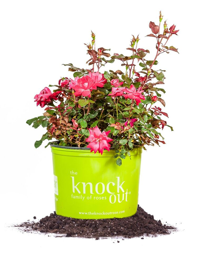 how to keep knockout roses blooming