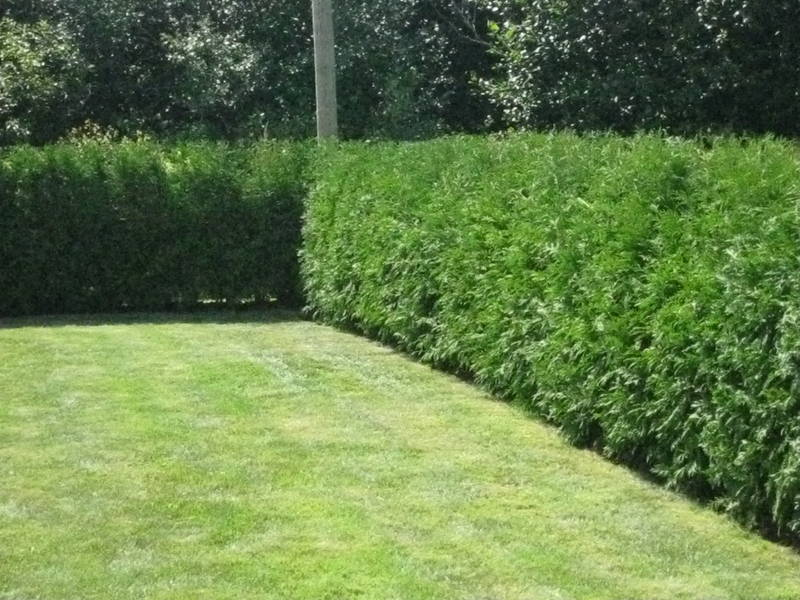 Red Cedar Hedge ~ Western red cedar thuja plicata cell grown ft