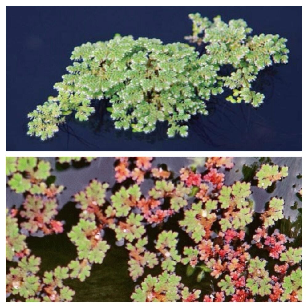 Fairy moss floating pond plants green water control moss for Floating pond plants
