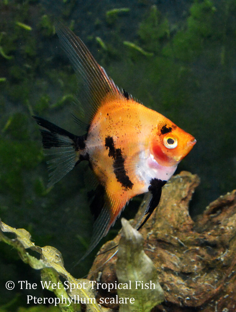 6 sm md red koi angelfish pterophyllum scalare freshwater for Red koi fish