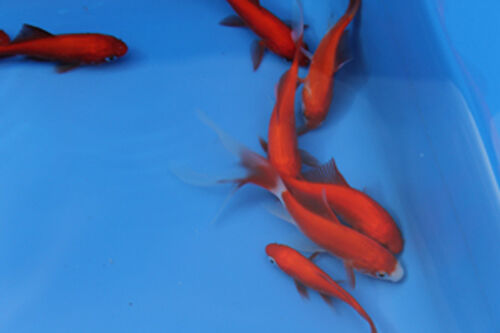 20 pond fish 7 varieties orfe goldfish tench carp koi for Koi carp varieties