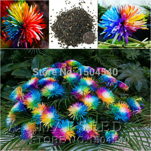 100 rainbow flower seeds chrysanthemum rare special unique for Which of these is unique to flowering plants