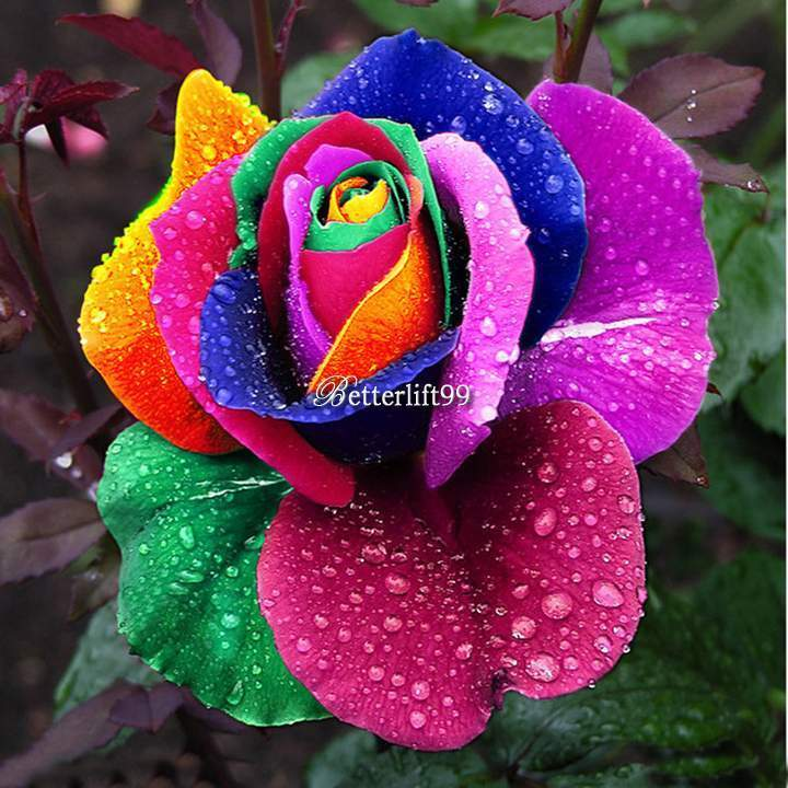 500pcs multi color rare rainbow rose flower seeds your for How to color roses rainbow