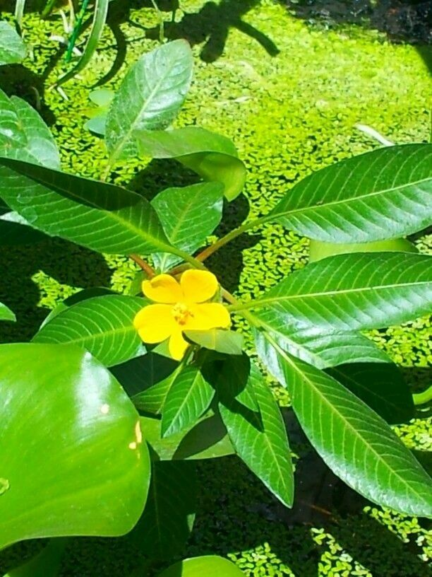 1 cutting creeping water vine primrose ludwigia pond plant for Water filtering plants for ponds