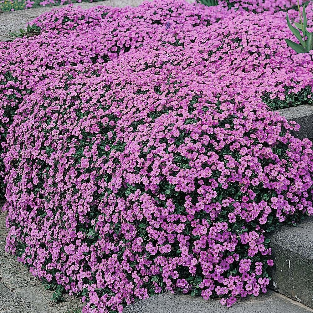 ROCKCRESS 'Aubrieta' ~Purple Jem~ Dwarf Ground Cover 25