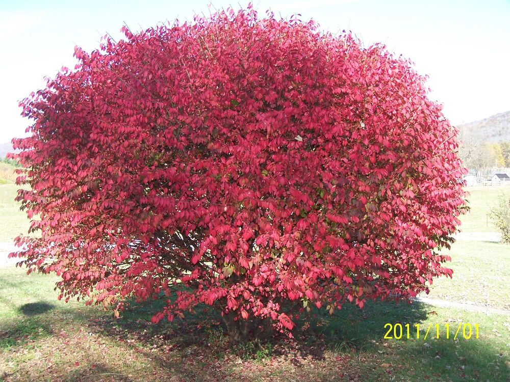 2 Burning Bush Plants Euonymus Alatus Compacta Ebay