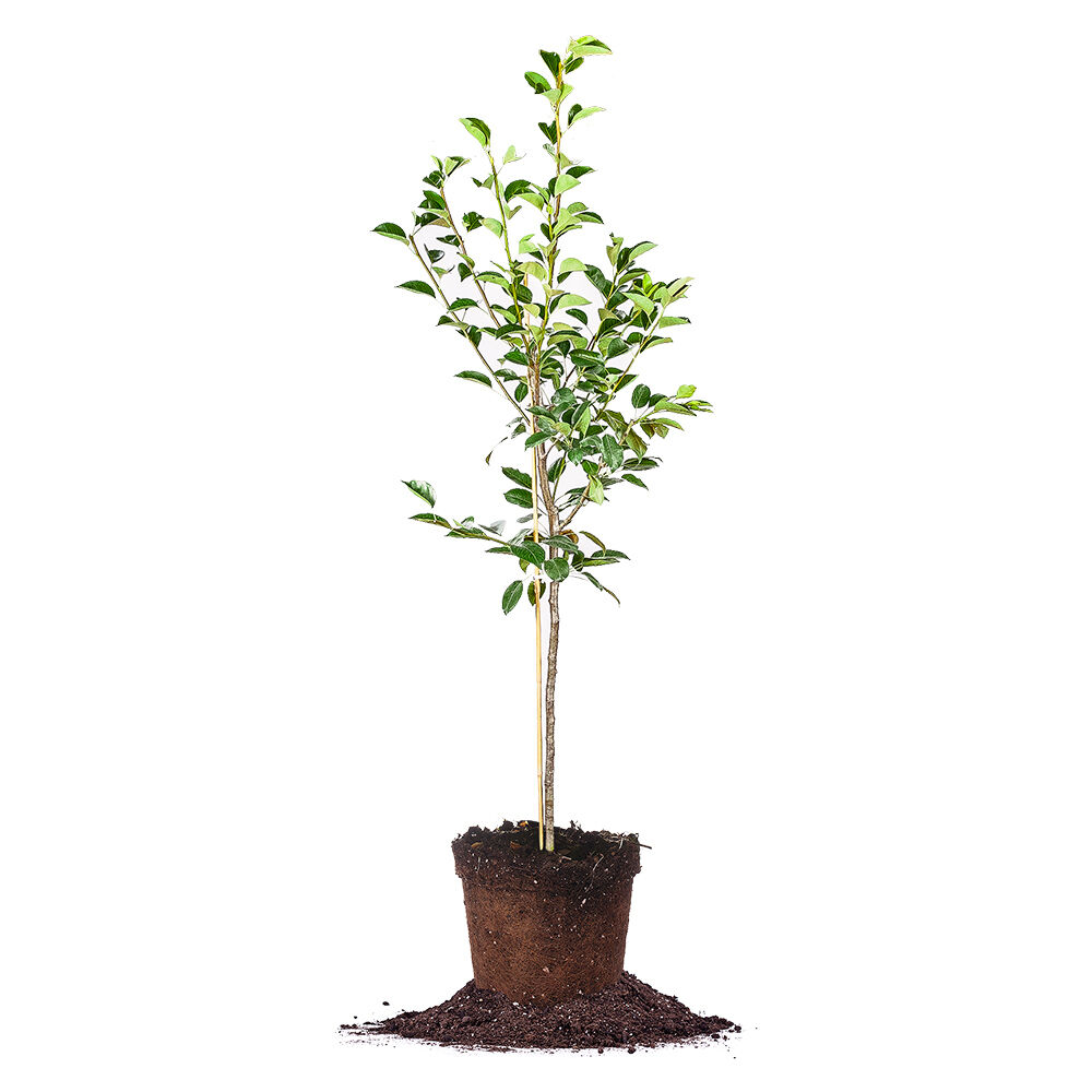asian pear tree size