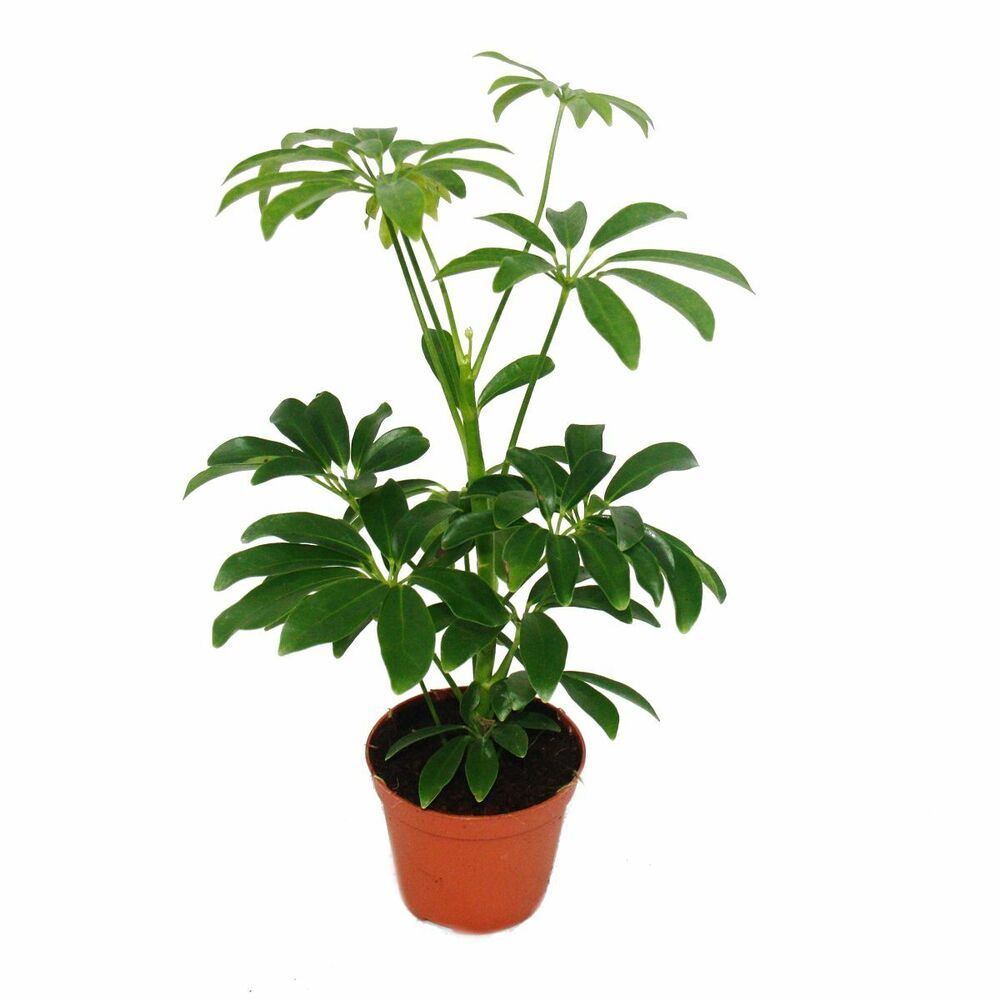 strahlenaralie schefflera 9cm topf zimmerpflanze ca 25cm hoch ebay. Black Bedroom Furniture Sets. Home Design Ideas