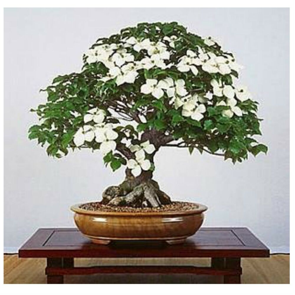 Bonsai 10 seeds live flowering house plant indoor garden for Bonsai indoor