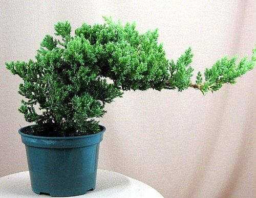 japanese bonsai tree pot nana live flowering house plant. Black Bedroom Furniture Sets. Home Design Ideas