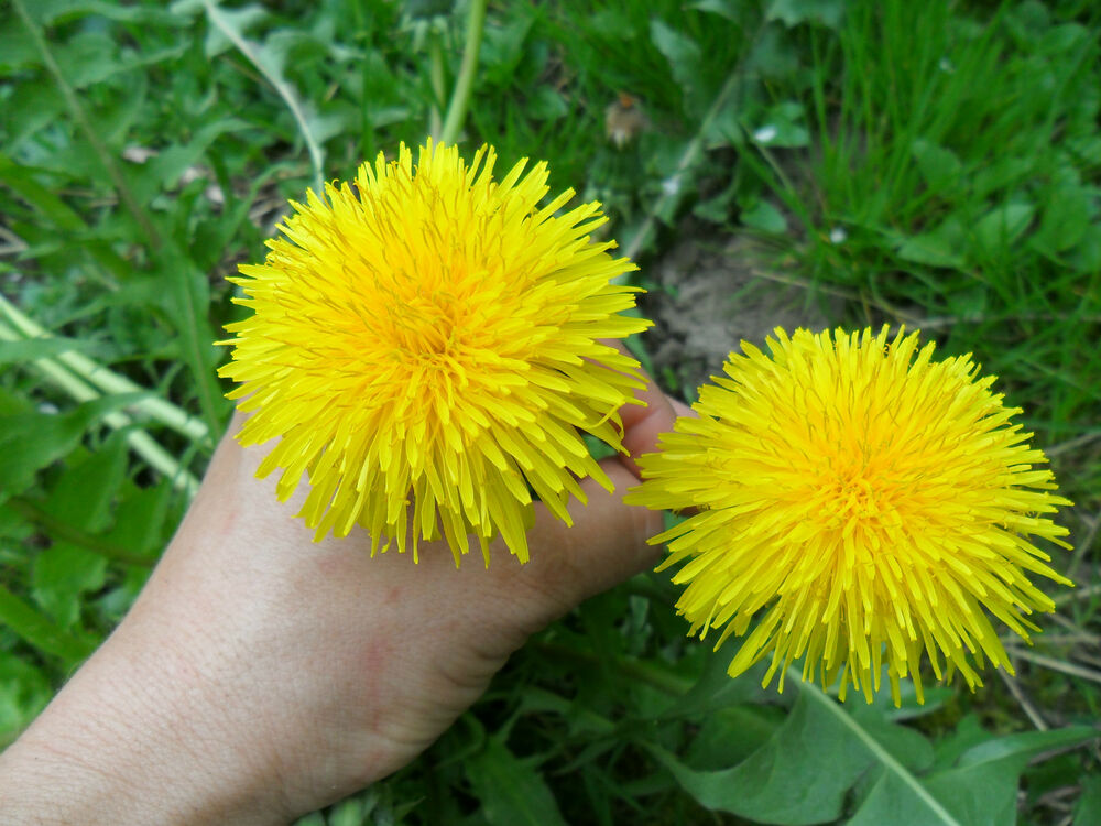 Giant dandelion culinary medicinal unusual large for Dandelion flowers and gifts
