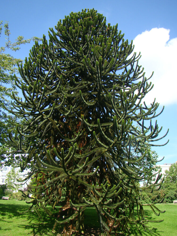 hardy conifer monkey puzzle tree araucaria evergreen