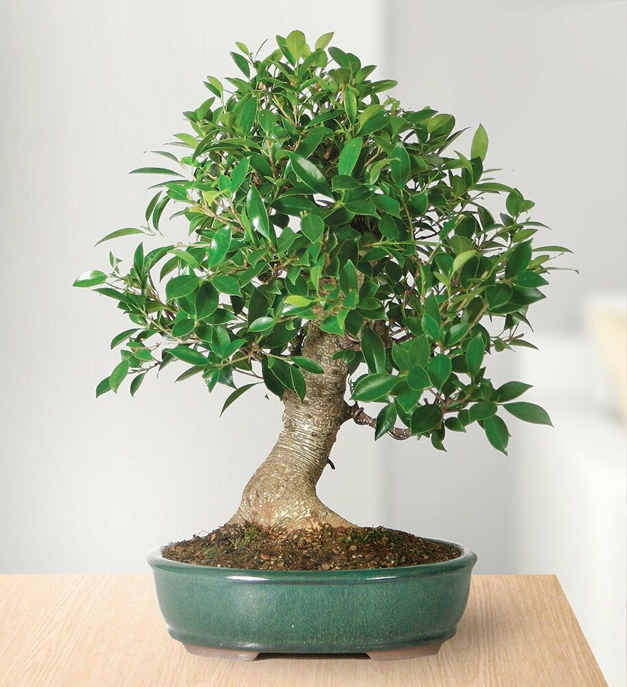 Brussel 39 s golden gate ficus bonsai tree plant indoors for Bonsai indoor