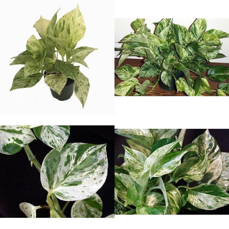 Plant marble queen devils ivy pothos epipremnum 4 pot for Easy to grow houseplants