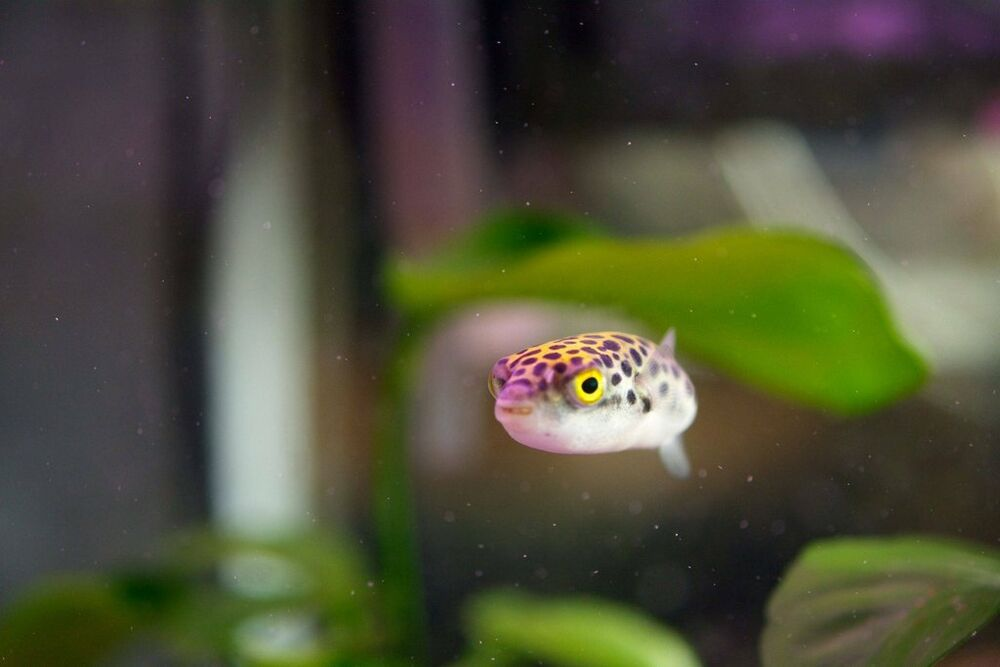 Green spotted puffer gsp pufferfish brackish water for Fresh water puffer fish