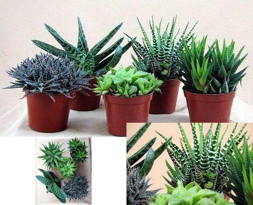 Haworthia collection 5 plants easy to grow hard to kill 3 for Easy plants to grow in pots outside