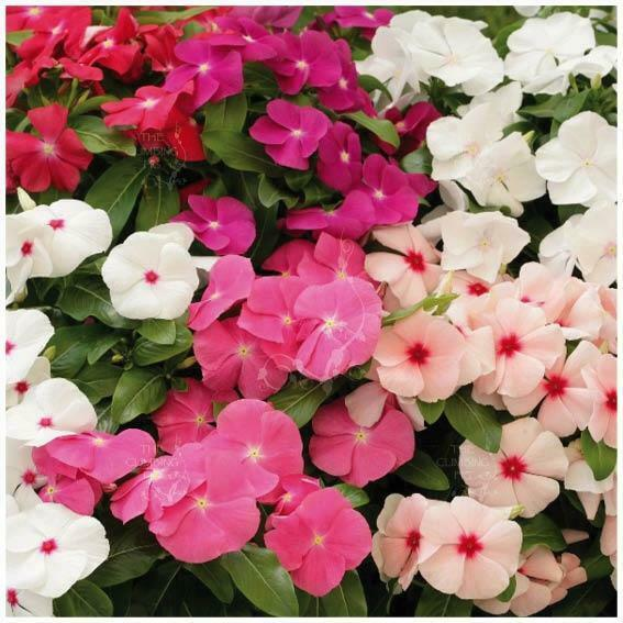 Vinca Boombox Seeds Red Pink White Purple Coral Flowers Mix