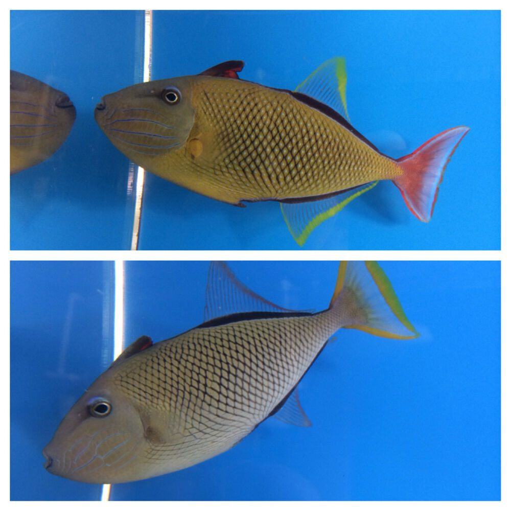 Crosshatch triggerfish pair hawaiian live saltwater for Live to fish