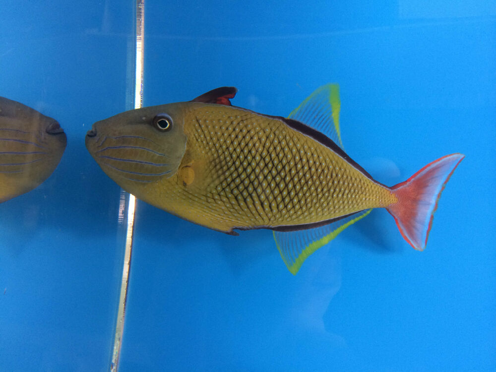 Crosshatch triggerfish male hawaiian live saltwater for Live saltwater fish