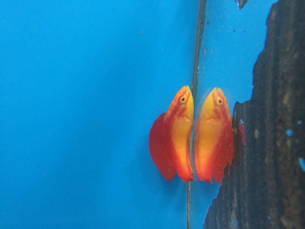 Flame Wrasse Pair Hawaiian Live Saltwater Aquarium Fish Hawaii Fairy