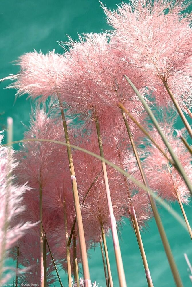 Giant pink pampas grass ornamental huge tall large plumes for Giant ornamental grass