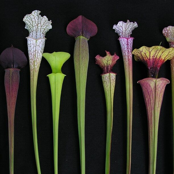 monster carnivorous sarracenia pitcher collection from