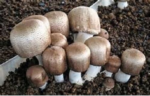 Blazei Mushrooms