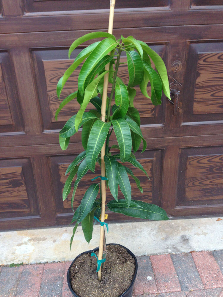 Nam doc mai mango tree dwarf condo live plant grafted free for In a garden 26 trees are planted