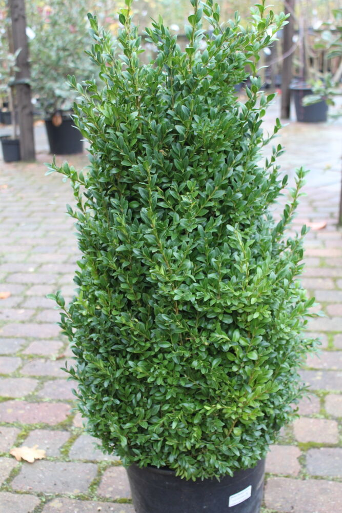 Buxus sempervirens box plants superb garden plants for Outdoor shrubs and plants