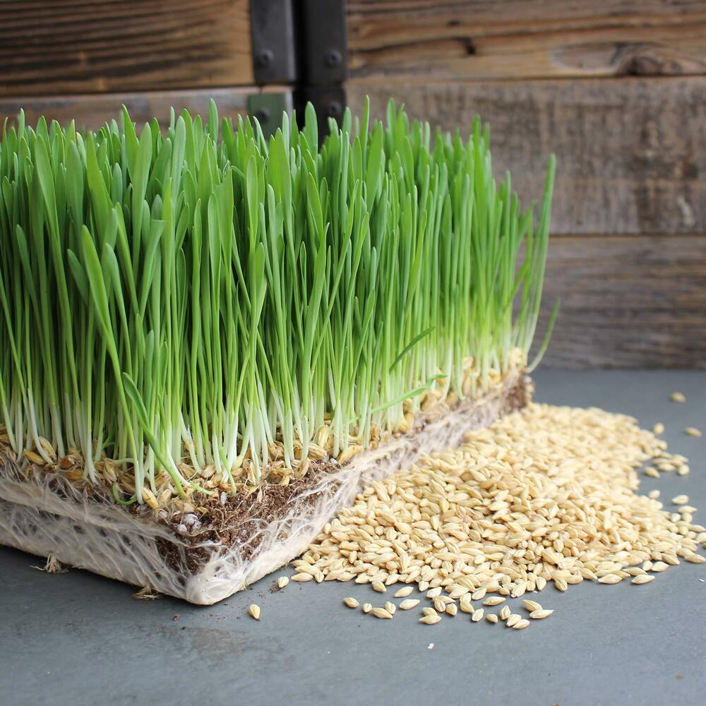 ORGANIC WHOLE BARLEY SPROUTING GRAIN - SPROUTS ...