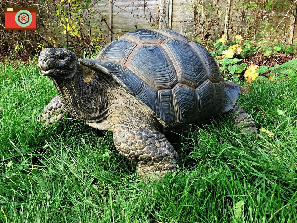 A GIANT TORTOISE, INCREDIBLE HUGE SIZE HOME & GARDEN ORNAMENT. ULTRA ...