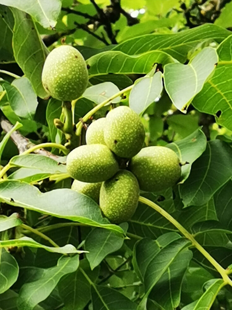Walnut tree, Common Walnut, JUGLANS REGIA, fruit tree ...