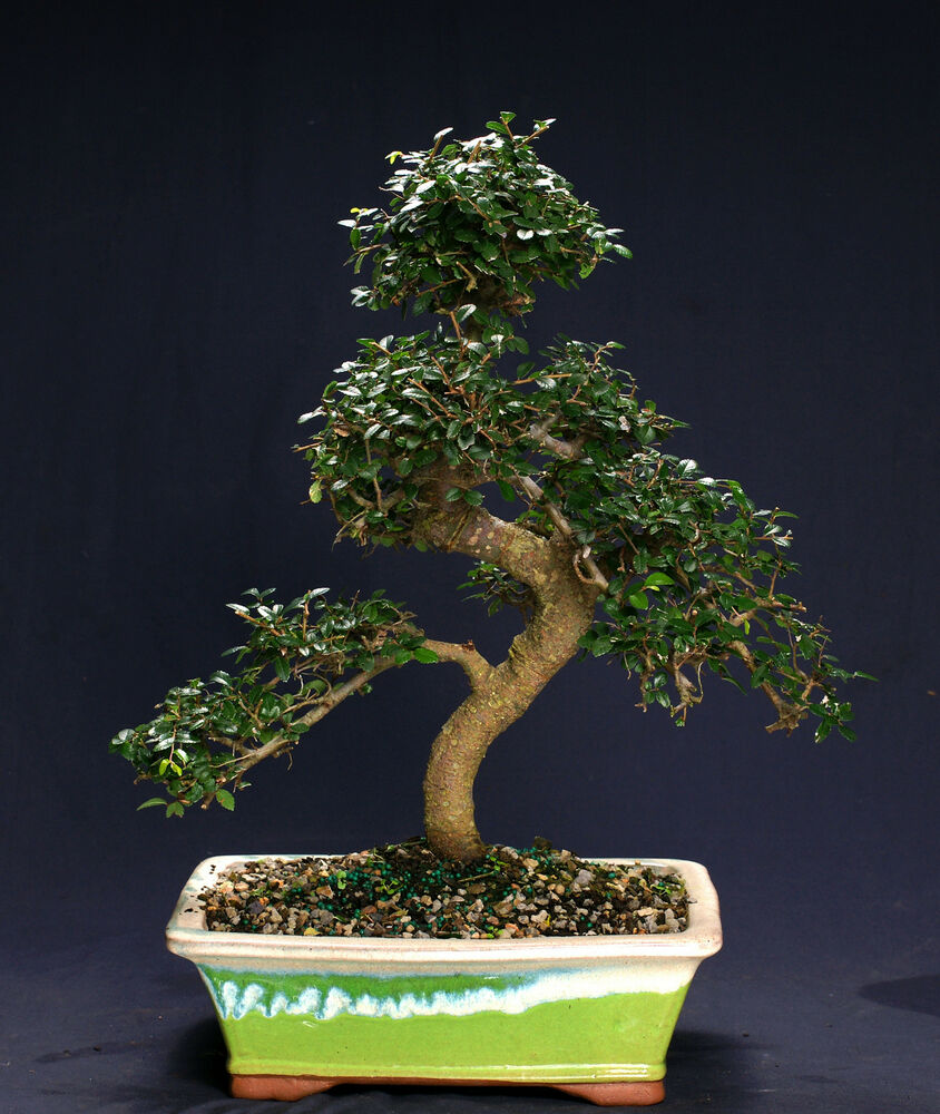 Chinese elm bonsai outdoor indoor large beginner bonsai for Bonsai indoor