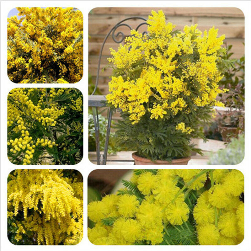 50 Golden Mimosa Seeds Acacia Baileyana Yellow Wattle Tree Bonsai