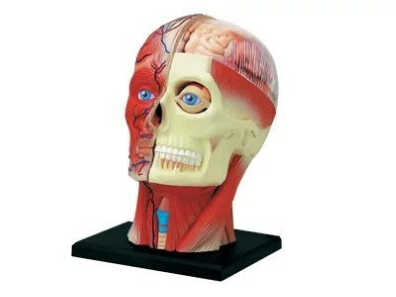 Puzzle 4d Human Head Anatomy Model Model Medical Simulation Human