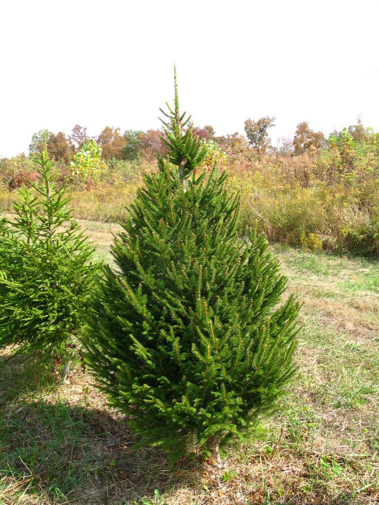 3 X Norway Spruce Picea Abies 30cm Ebay