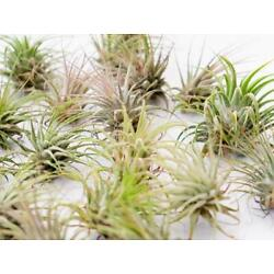 Kyпить Rescue Airplants  Ionantha Lot || Clearance на еВаy.соm