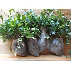 Kyпить 100 Myrtle Vinca Minor Periwinkle ground Cover for Landscaping FREE SHIPPING на еВаy.соm