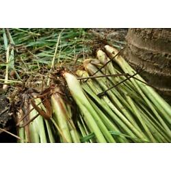 Kyпить 15 Live Lemongrass Stalks Plugs Cymbopogon Sereh Plant Healthy Herb Lemon Grass на еВаy.соm