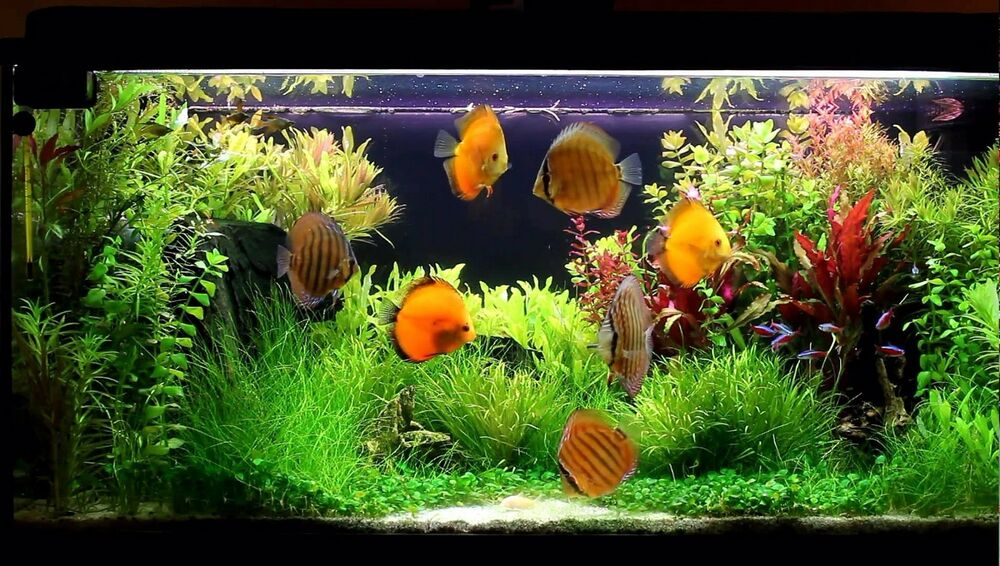 10 live softwater aquarium plants suitable for tropical for Live discus fish for sale