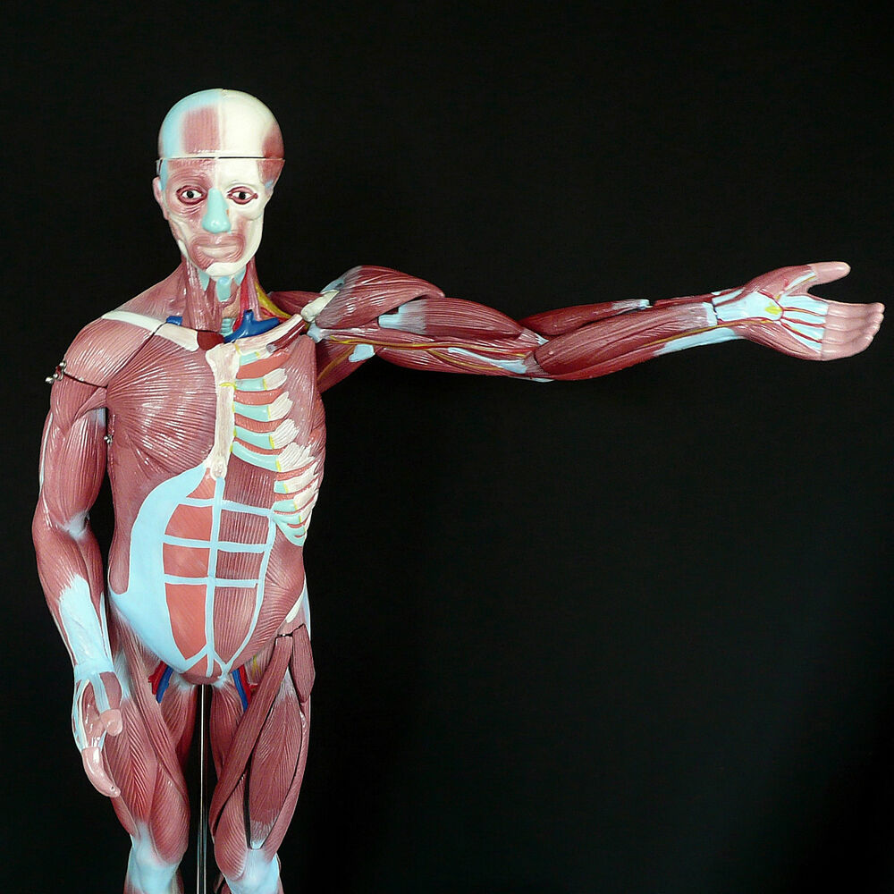 Human Anatomical Muscular Model Muscle System Medical Anatomy ...