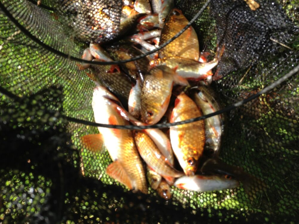Garden Pond Fish Green Tench Orf Golden Rudd Gold Koi Quality Golden Rudd Ebay