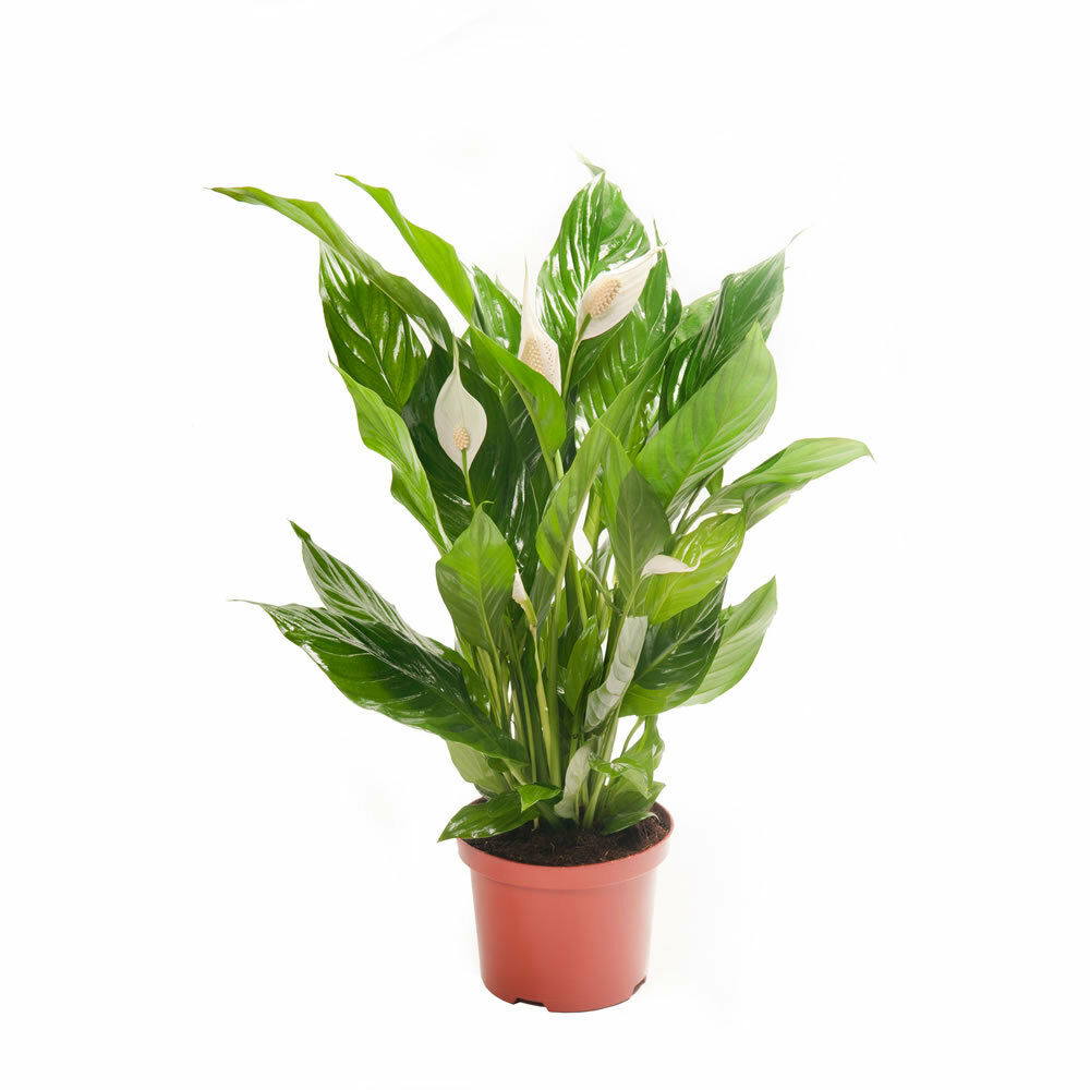 Peace lily spathiphyllum easy to care house plant ebay for Easy care indoor plants