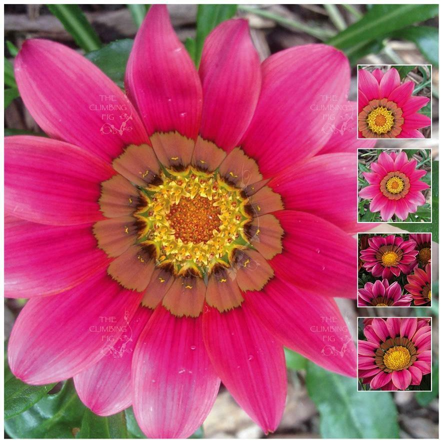 Gatsania flower: photo, description, growing from seed, planting and care in open ground 73