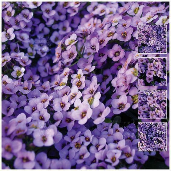 Alyssum lavender at dusk seeds beautiful fragrant mauve purple alyssum lavender at dusk seeds beautiful fragrant mauve purple flowers ebay izmirmasajfo