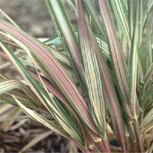 Phalaris variegated ribbon grass strawberries and cream for Variegated ornamental grass