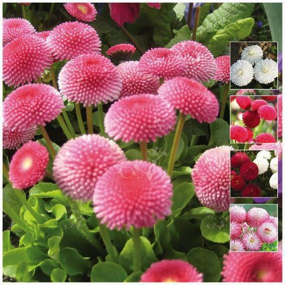 Bellis Symphony Double Mix Seeds Double Pink Red White Flowers